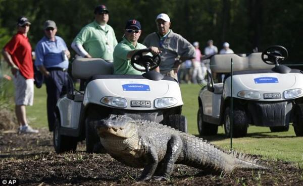 老虎不在鳄鱼抢镜 高尔夫球场闯入不速之客