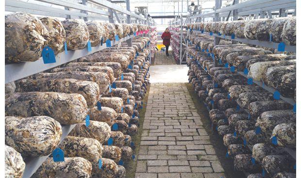 裕國股份香菇研究智能種植基地全部實現自動化管理