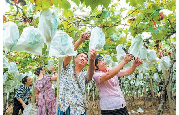 随县尚市镇果农利用互联网推广套袋葡萄