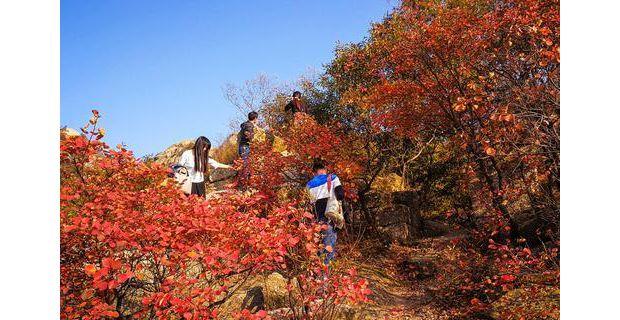 铁山红叶迎来最佳观赏期