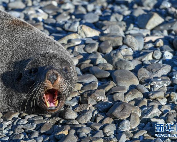 咆哮的海豹