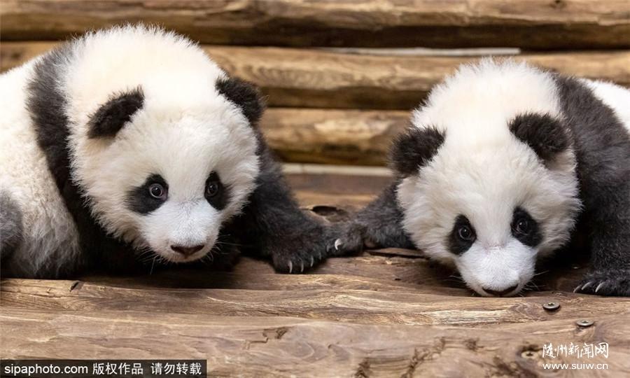"""首对在德出生双胞胎熊猫宝宝""""茁壮成长"""""""