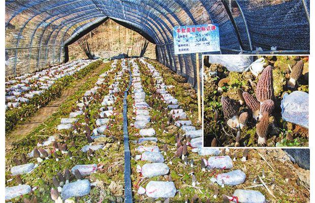 耀兴大海种植基地:羊肚菌喜获丰收
