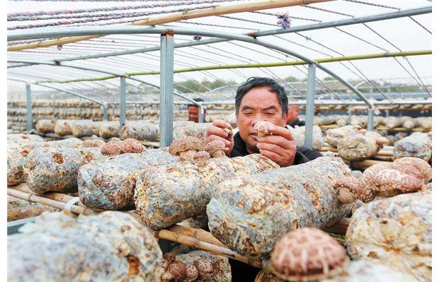 王子店村:发展香菇种植 增加经济收入