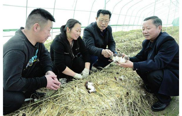 专家指导采摘酒红菇