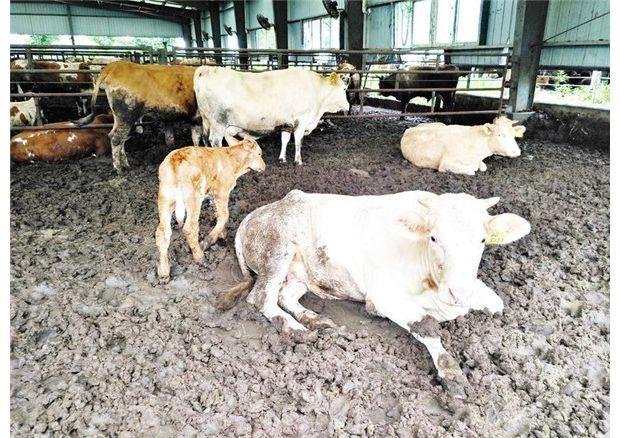 肉牛养殖 助农增收